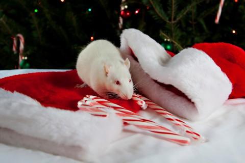 可爱小白鼠