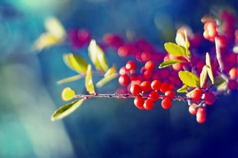 红彤彤的浆果