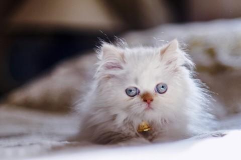 喜玛拉雅猫