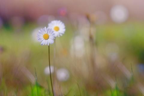 纯白干净的雏菊