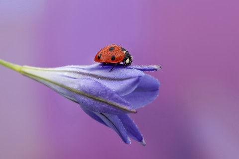 花卉上的小小瓢虫