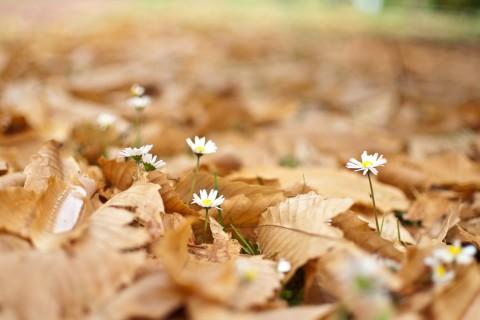 落叶中的雏菊