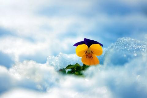雪地里的三色堇