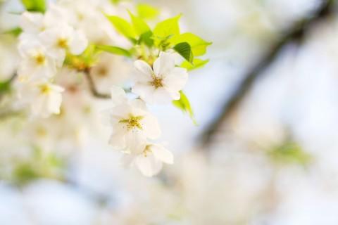雪白的梨花