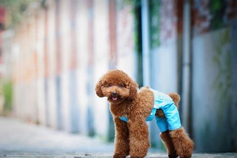 调皮可爱贵宾犬