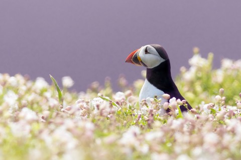 花丛中的海鹦