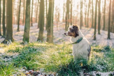 丛林中的澳大利亚牧羊犬