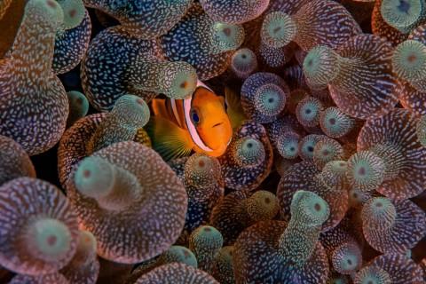 海底可爱小丑鱼