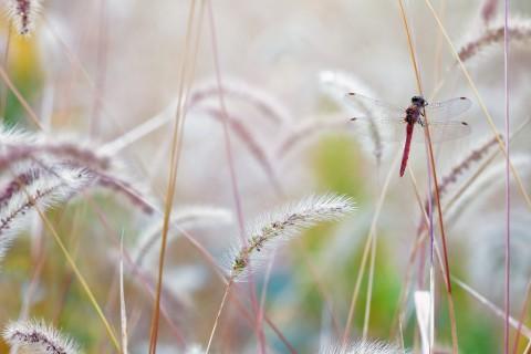 轻盈的蜻蜓