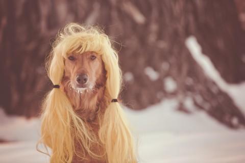 戴假发的金毛
