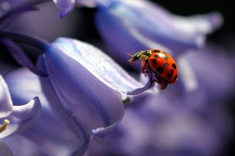 紫色花瓣上的小瓢虫