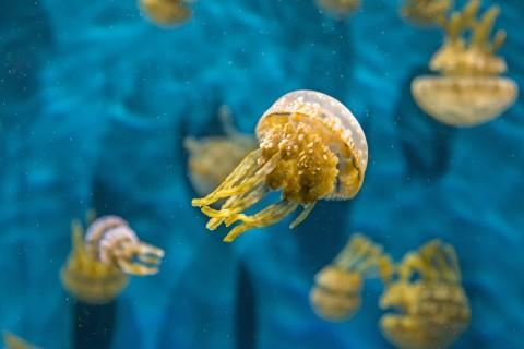 自由自在的水母