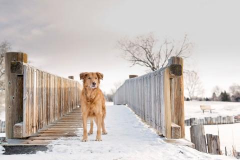 雪地里的宠物狗