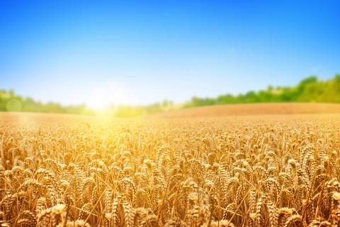 阳光下的麦穗