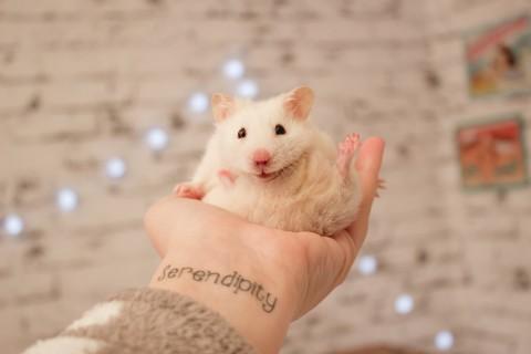 呆萌小白鼠