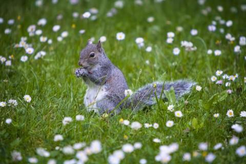 正在吃东西的松鼠