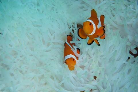 珊瑚里的小丑鱼