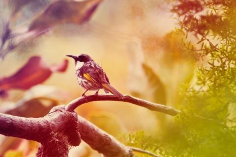 可爱罗宾鸟