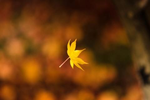 掉落的枫叶