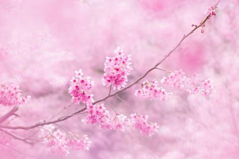 樱花正开时
