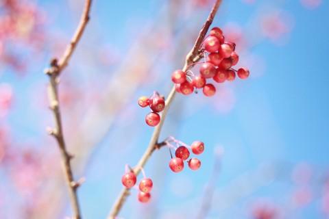 树上的新鲜红果