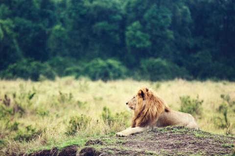 孤独的狮子