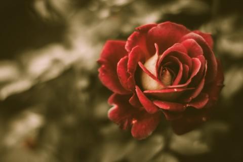 怒放的红玫瑰