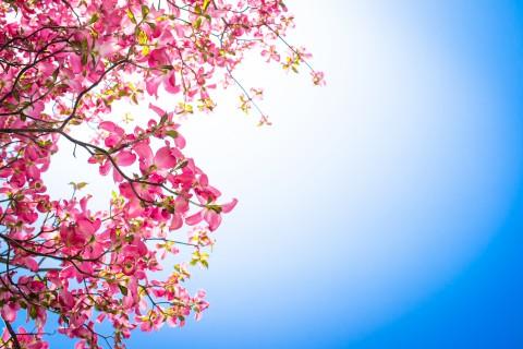 蓝天下的粉色花卉