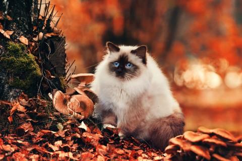 秋天里的暹罗猫