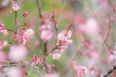 漂亮的雨后桃花