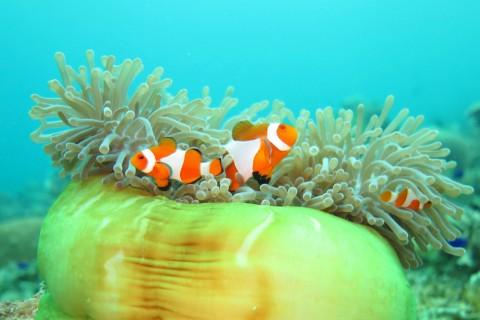 海底中的美丽小丑鱼
