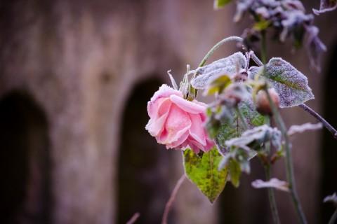 冬日里的玫瑰