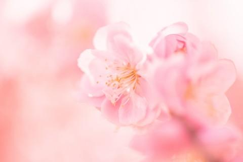 春天里的美丽桃花