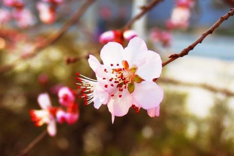 美丽的杏花