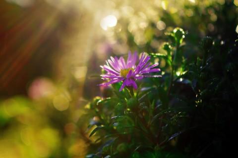 紫苑花的后来