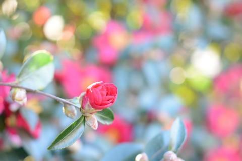 含苞欲放的茶花