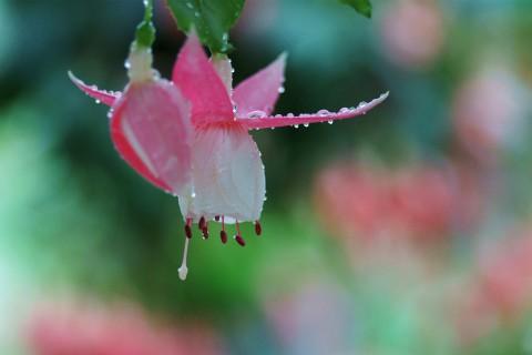 漂亮粉色灯笼花