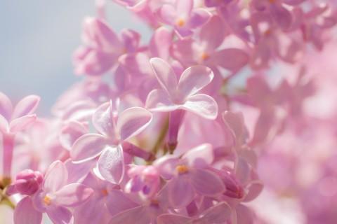 娇嫩的丁香花