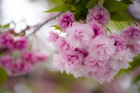 娇嫩的樱花