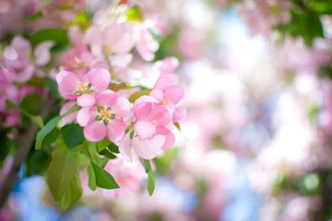 粉嫩苹果花
