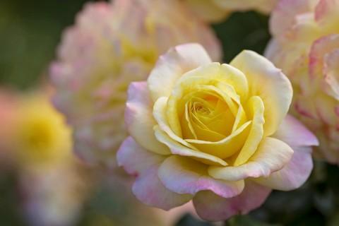 美丽的黄玫瑰