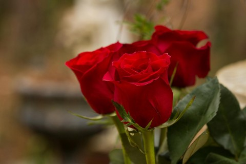 鲜艳的红玫瑰