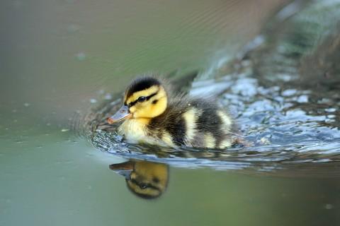 游泳的小鸭子