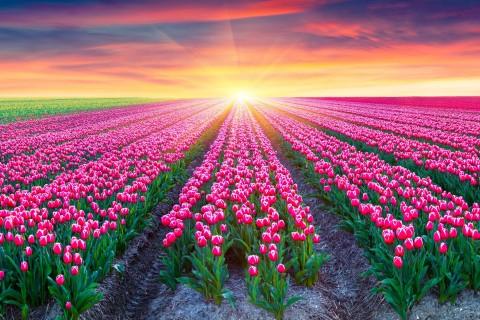 阳光下的郁金香花海