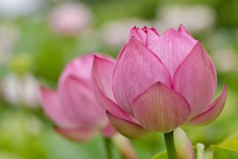 含苞待放的粉色荷花