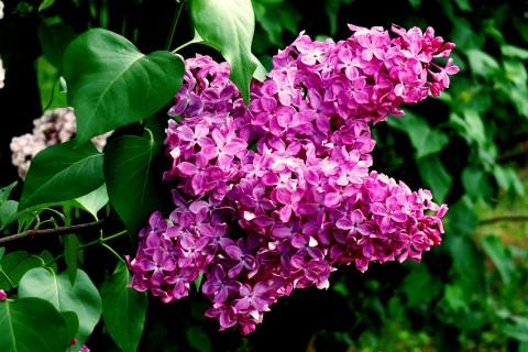 盛开的丁香花
