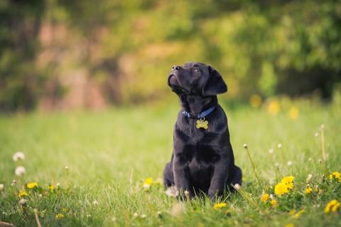 仰望天空的拉布拉多犬
