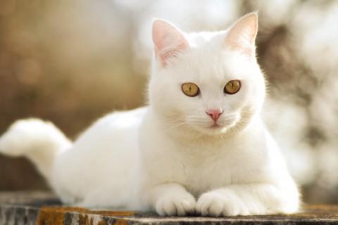 可爱的白色猫咪