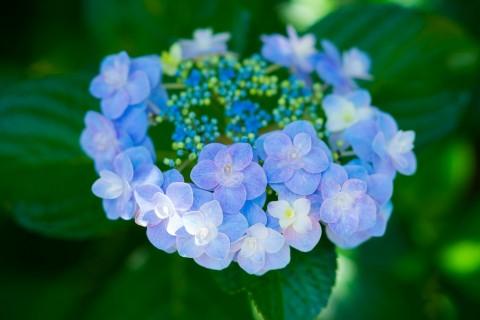 漂亮的绣球花