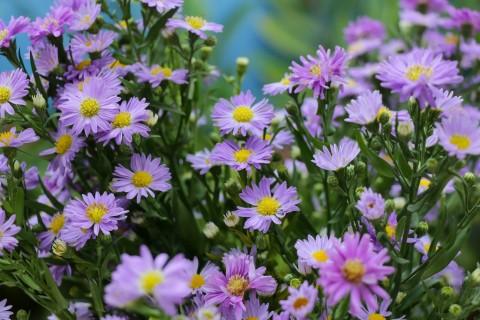 美丽的紫苑花